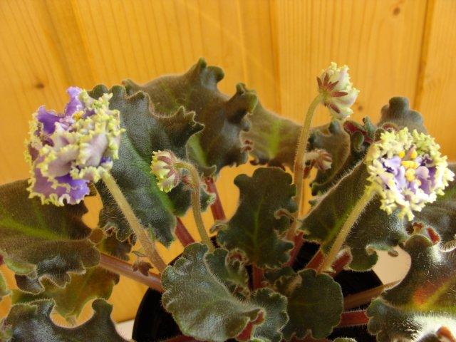 Мои цветочки - Страница 5 F8b0004fe1b2