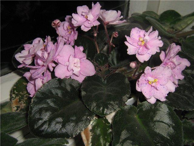 Моё цветочное богатство - Страница 10 14cbdf3f4d14