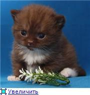 Британские котята. Окрас:  голубой, шоколадный биколор. 744090033af3t