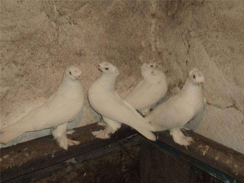 полевых бойные голуби оренбурга фото большей мере касается