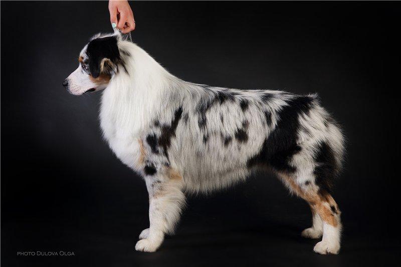 """Питомник """"Aurum Dog"""" 56186821b9ae"""