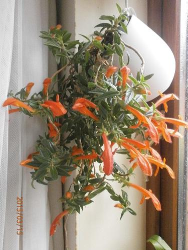 Разводите ли дома цветы и какие? - Страница 34 Ba09043bdb8f
