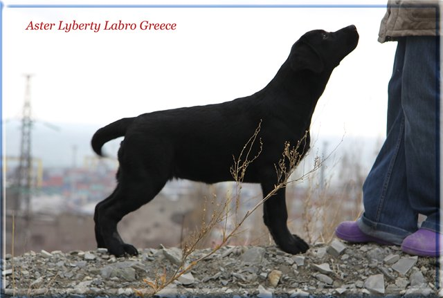 Щенки в питомнике Aster Liberti Labro!!! - Страница 9 7b10f6c17681