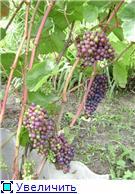 Виноград- секреты выращивания Fc44a326f3e7t