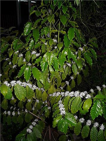 Кофейное дерево - Страница 4 E3097c918ed1