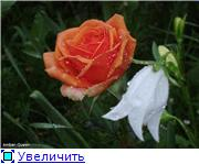 Розы 2011 613edc6a4237t