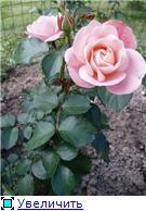 Розы 2011 B70885037af4t