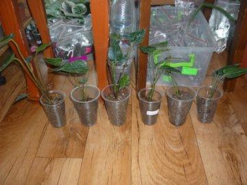 декоротивно-лиственные и красивоцветущие растения - Страница 3 B5cf0728ad49