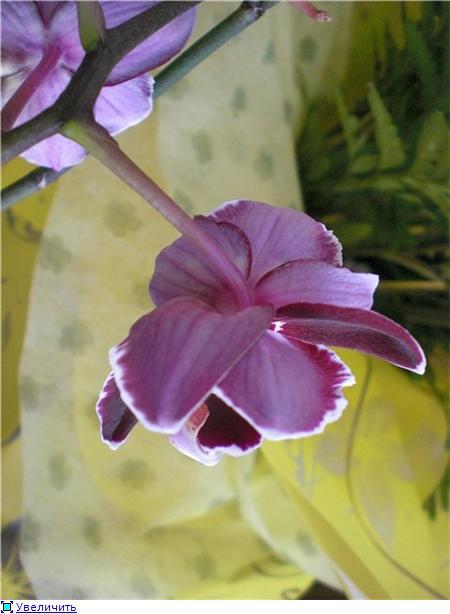 Странности и интересности наших орхидей - Страница 6 2d4e4900e248t