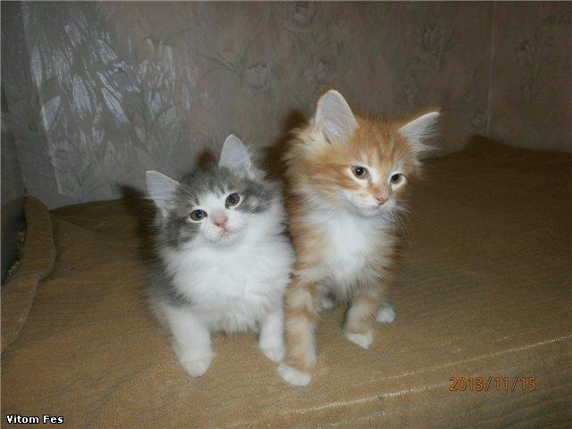 Котята Курильского бобтейла 3fa719d0c5f7