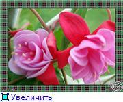 ФУКСИИ В ХАБАРОВСКЕ  - Страница 3 7b451deece4et
