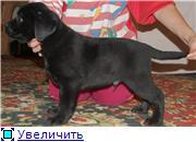 Шоколадные и черные щенки лабрадоров в  питомнике Луссо Анжело B20b06f9a242t