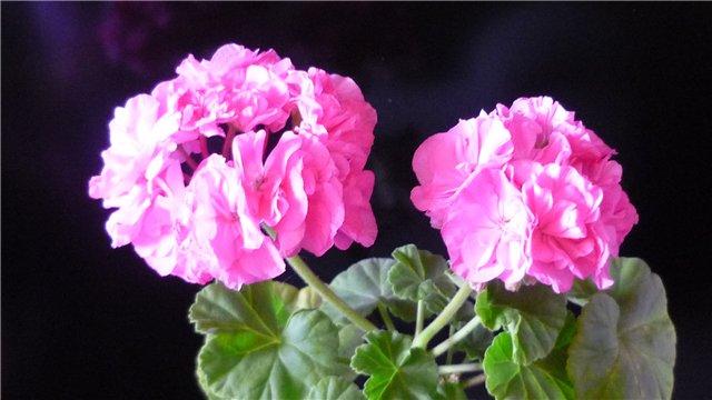 Мои любимые цветочки - Страница 39 0ddffc75ea35