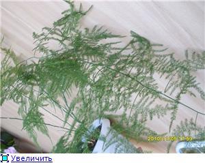 Аспарагусы из семян 62e5a6d02559t