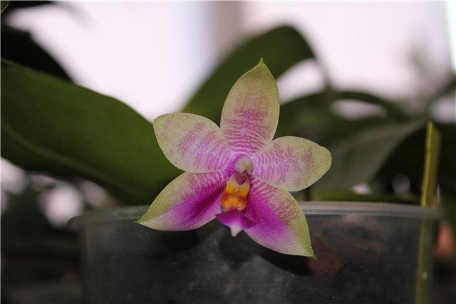 Phalaenopsis Penang Girl 0b745233e919