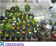Размножение фиалок - Страница 2 64c03f991368t