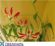 Глориоза (Gloriosa) Cbf08824c4ddt