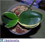 Странности и интересности наших орхидей 5e5d9ef433f3t