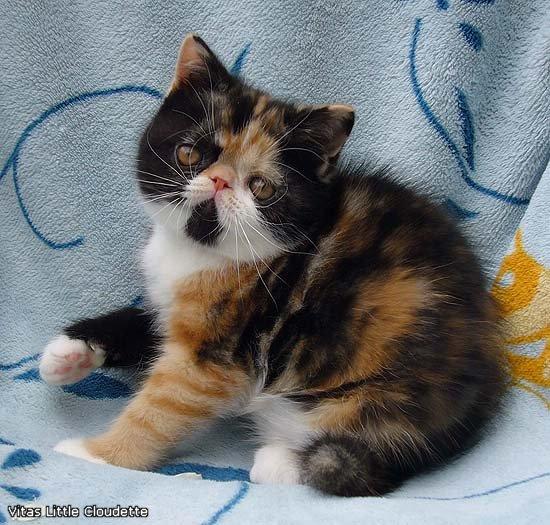 VITAS LITTLE - питомник персидских и экзотических кошек - Страница 4 5f0f6d94abdf