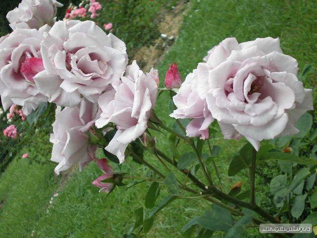 Крым. Никитский ботанический сад. - Страница 2 Ddb907d64fa0