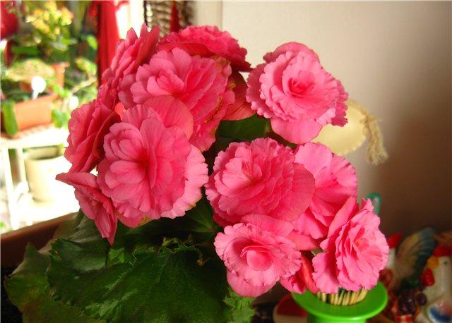 Цветочки комнатные!...и не только... 2e2f1352f777