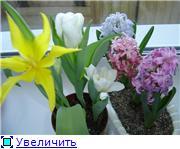 Выгонка луковичных. Тюльпаны, крокусы и др. 0203ef69f76bt