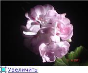 Наши пеларгонии!!! - Страница 3 70a135f478d9t