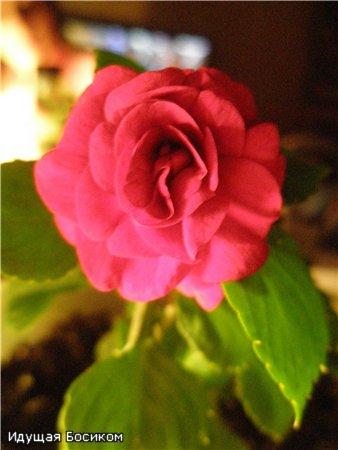 Цветочные красотки и красавцы Идущей Босиком - Страница 8 7ecda04de7a1