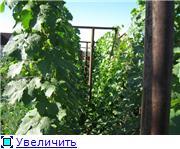 Виноград- секреты выращивания C652b45b986at