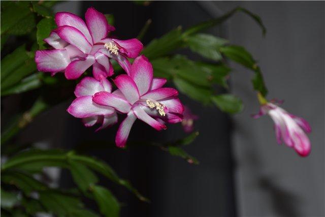 А что растет у нас на подоконнике ... цветы в доме. - Страница 20 Bd9170a7f2b6