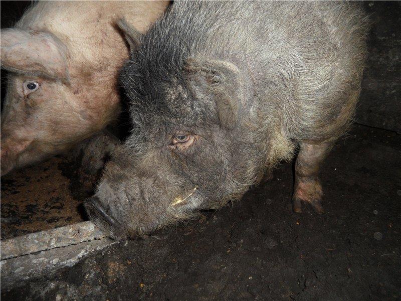 В'єтнамські вислобрюхие свині 211b4282dd39