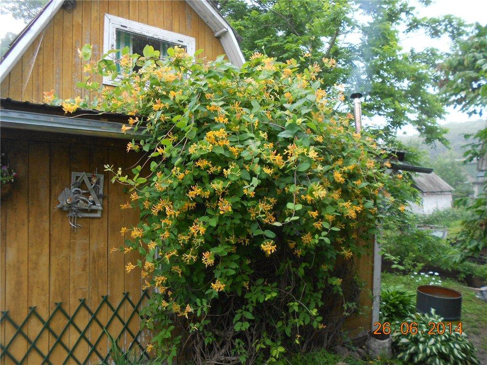 Цветущие лианы - Страница 3 53a9743228b5