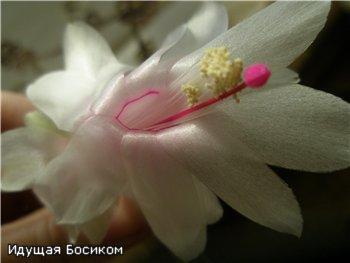 Цветочные красотки и красавцы Идущей Босиком - Страница 5 Cebe5f14cd30