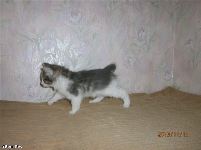Котята Курильского бобтейла 58ab26191cc6