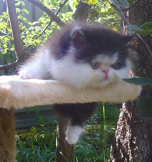 VITAS LITTLE - питомник персидских и экзотических кошек 5e4447761fd7