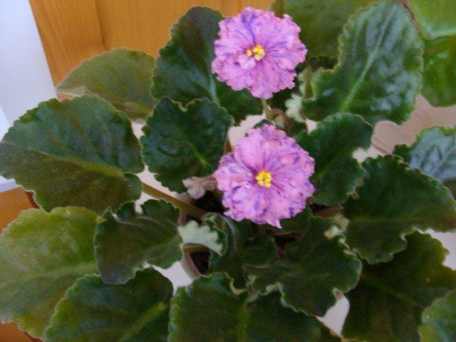 Мои цветочки - Страница 7 C4ecaab18ff7