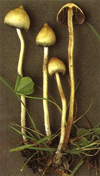 галлюциногенные грибы 6ec836d92e50