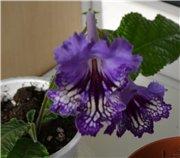 Семена глоксиний и стрептокарпусов продам 8e3660f415aat
