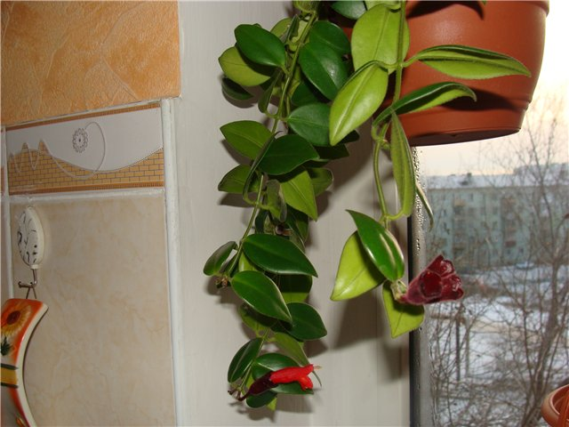"""Эсхинантус-""""искаженный цветок"""" Afd5f11c699c"""
