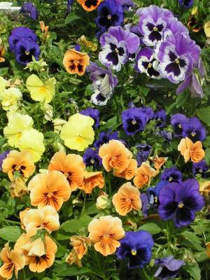 Виола, анютины глазки, фиалки садовые E3c18e2f220a