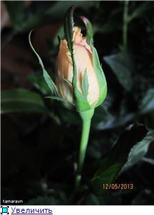 Розы в комнатной культуре - Страница 8 1c6d8f0ed6det