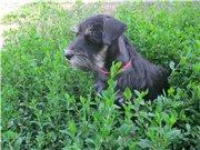 Цвергшнауцера щенки, окрас черный с серебром 4d10ca7b1dect