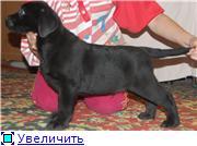 Шоколадные и черные щенки лабрадоров в  питомнике Луссо Анжело E0e93582025at