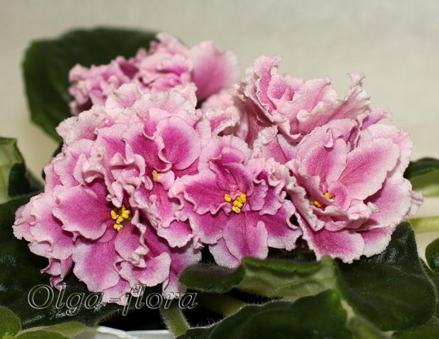 Pink Duchess (S.Sorano)  2a2a6eab9de8