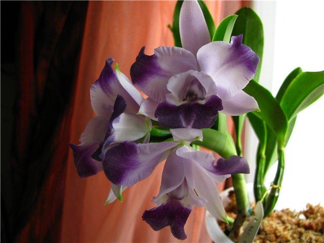 """Lc. Taka Blue или Lc. Cariad's Mini-Quinee """"Angel Kiss"""" B9ed24137e44"""