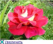 Розы 2011 8b00029c42e4t