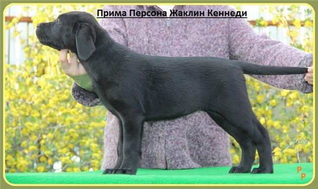 "Питомник ""Прима Персона"". Мои собаки-моя жизнь! - Страница 2 5784ea22d192"