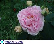 Розы 2011 8eb078cdb39bt