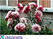 Георгины в цвету B6906f5d1ef3t