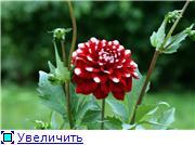 Георгины в цвету 0e48b3302762t
